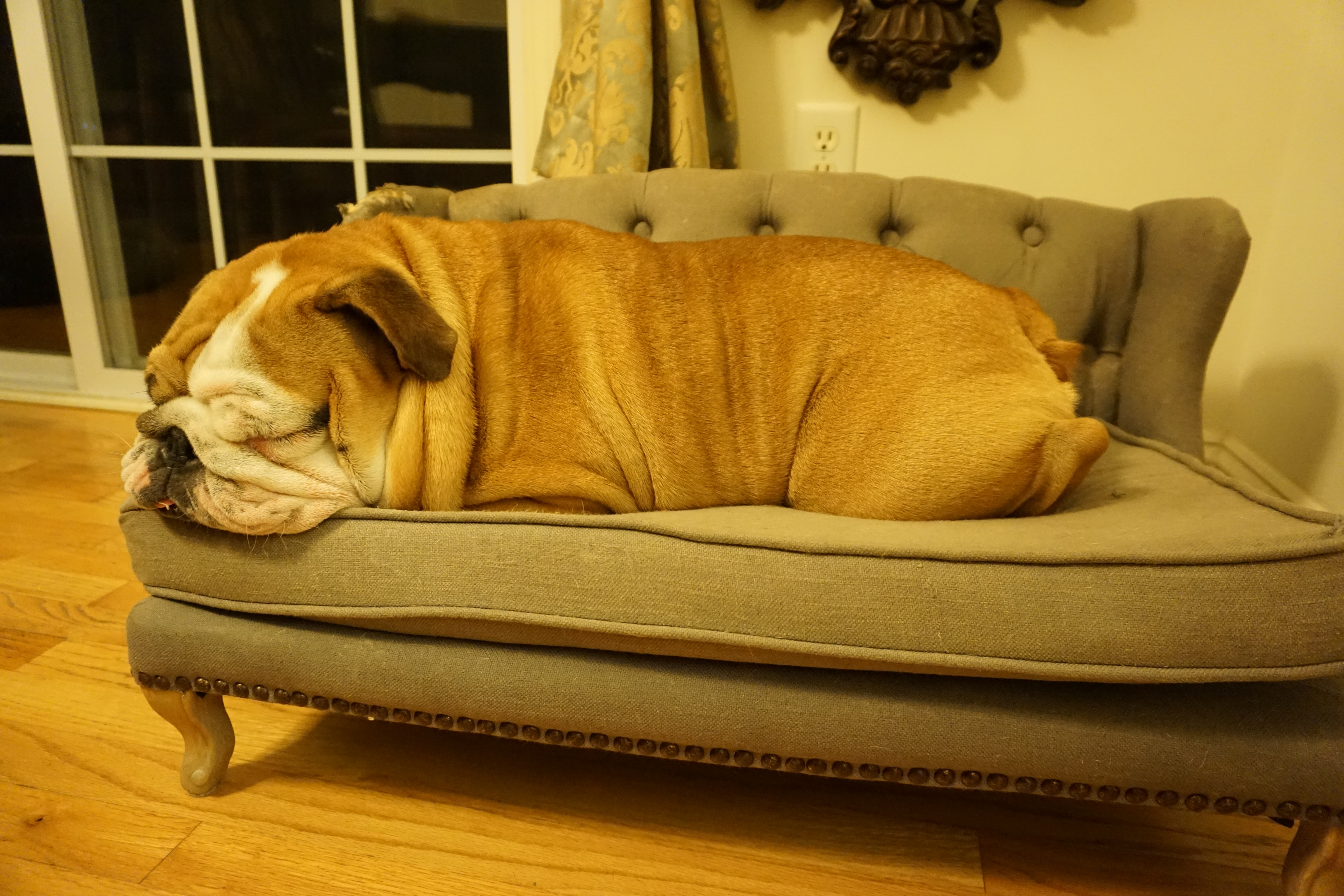 Dog Chaise Lounges Within Trendy A Day In The Life Of An Ollie Dog: Winston The Bulldog (View 6 of 15)