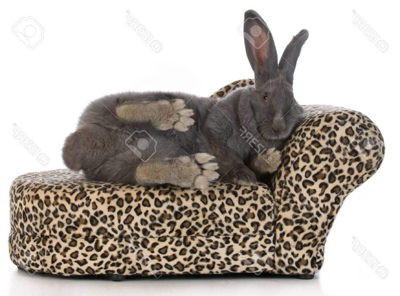 Newest Leopard Chaise Lounges Pertaining To Fancy Bunny – Giant Flemish Bunny Stretched Out On A Leopard (View 7 of 15)