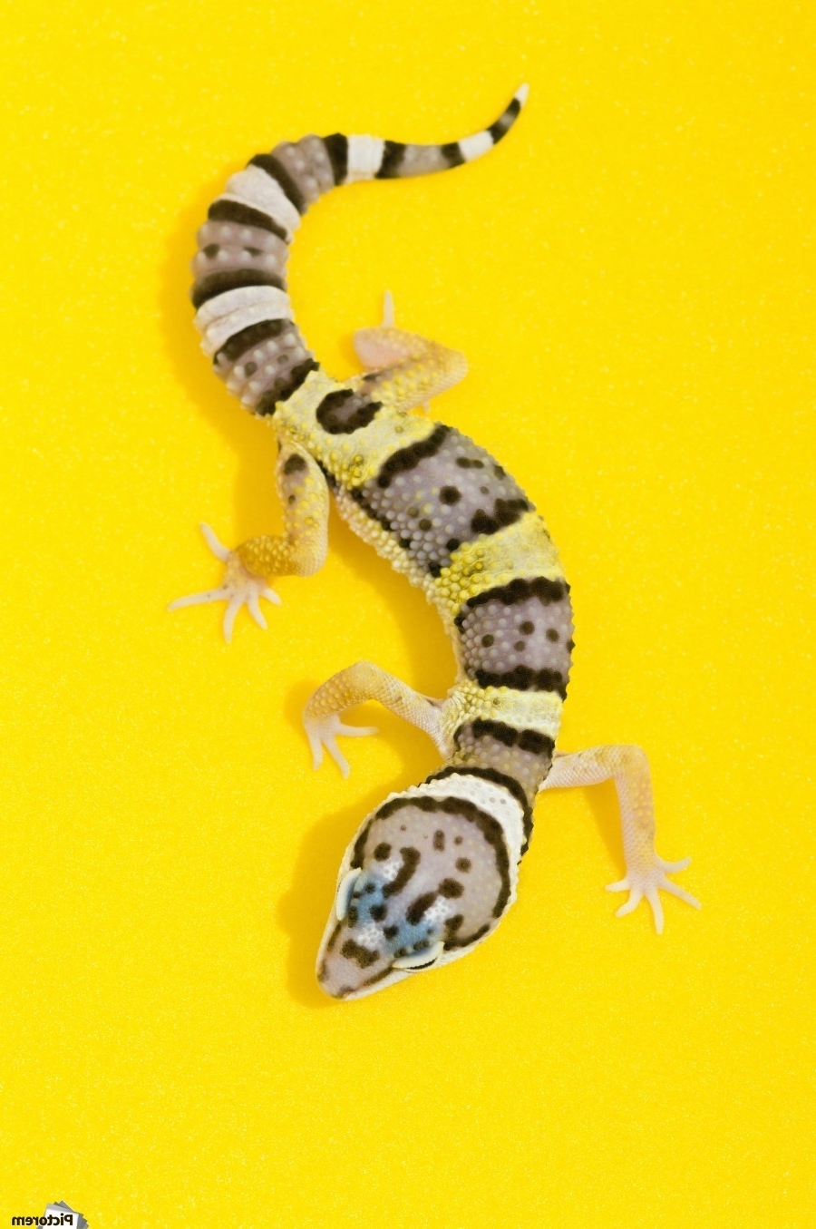 Current Gecko Canvas Wall Art For Baby Leopard Gecko – Pacificstock Canvas (View 3 of 15)