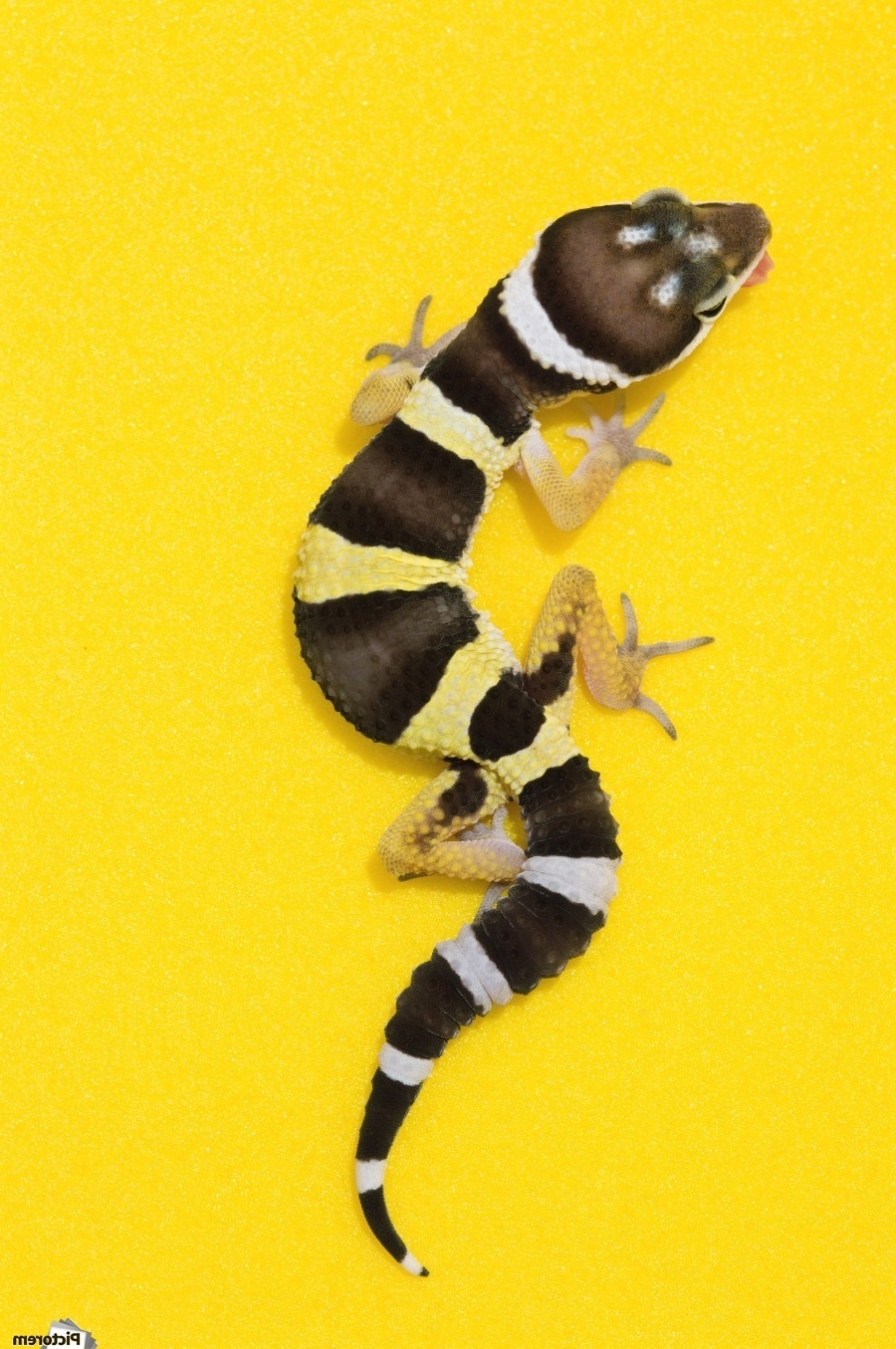 Well Known Baby Leopard Gecko On Yellow – Pacificstock Canvas Regarding Gecko Canvas Wall Art (View 15 of 15)