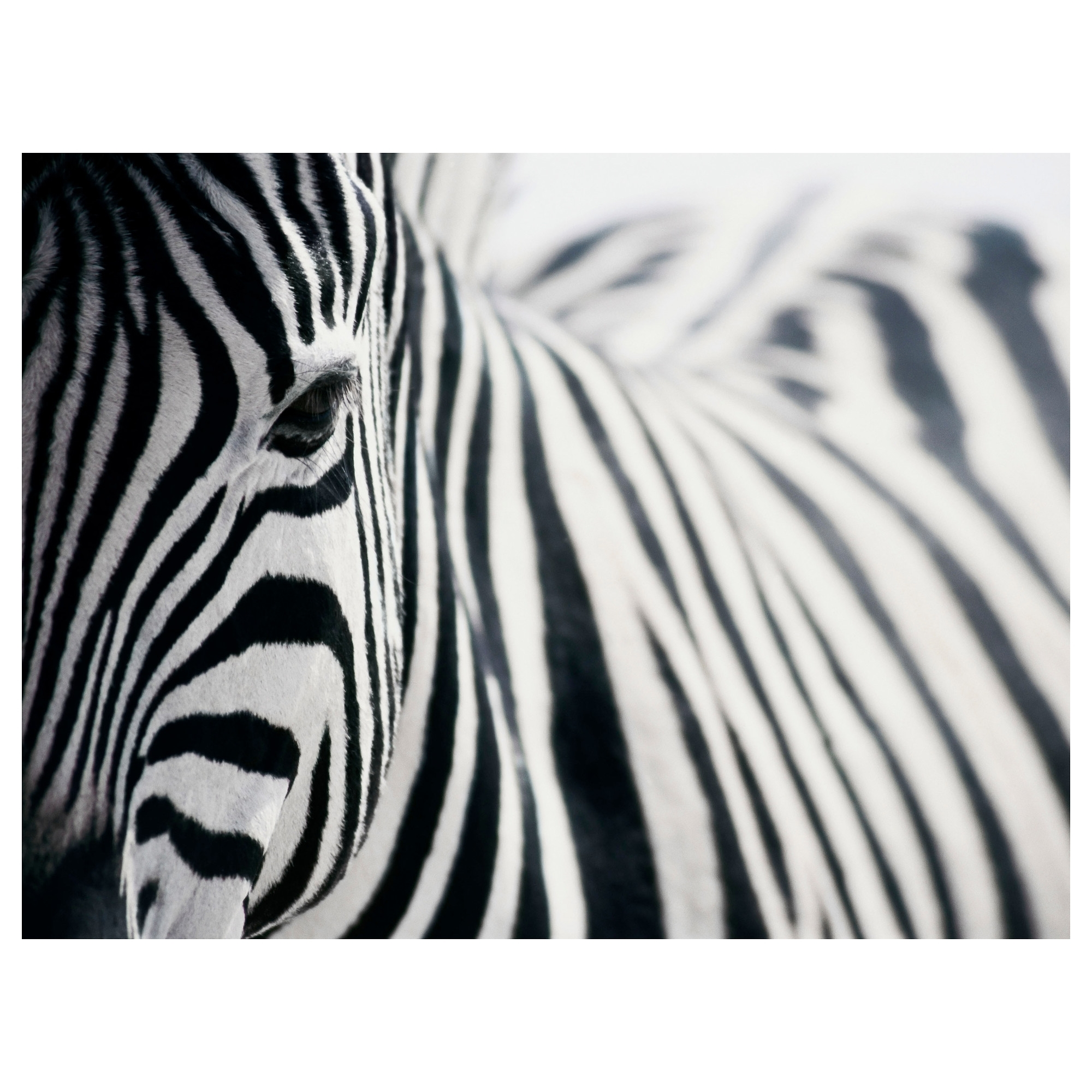 Well Known Zebra Canvas Wall Art Intended For Zebra Canvas Wall Art – Culturehoop (View 3 of 15)