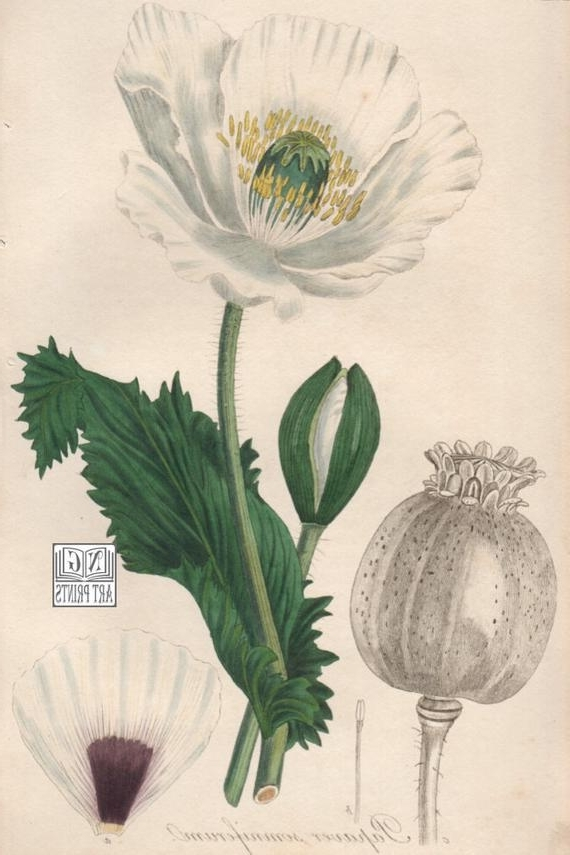Best And Newest Items Similar To 1800S Botanical Print, Poppy Botanical Wall Art With Botanical Prints Etsy (View 2 of 15)