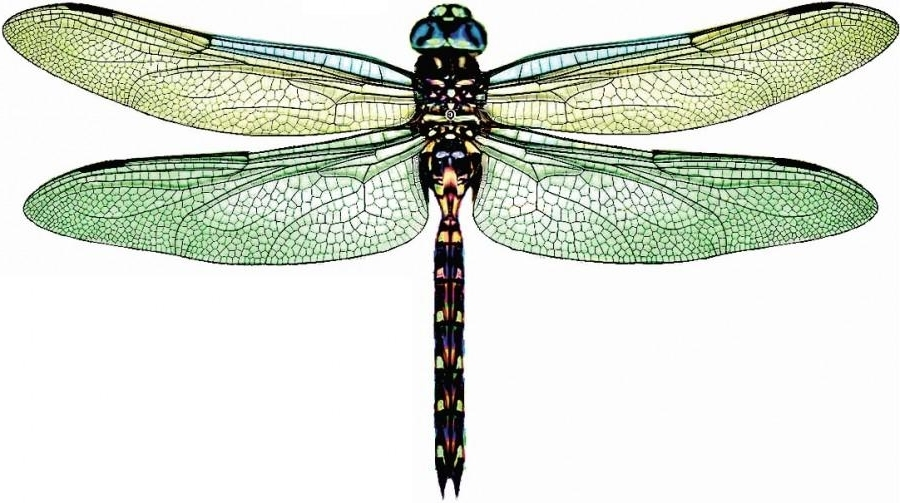 Most Current Dragonfly 3D Wall Art Intended For 5 X 3D Dragonflies – Daintree Green – Rainforest, Wall Decor, Art (View 5 of 15)