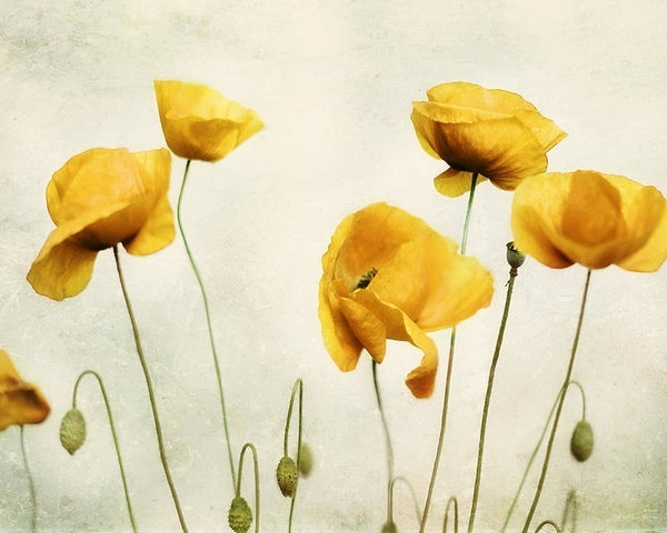 Yellow Poppy Photography - Yellow Poppies - Yellow Flowers - Olive in Favorite Yellow And Green Wall Art